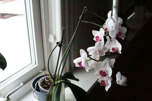 Orkidéblomning