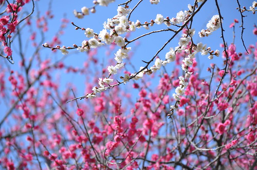 White and Pink Plum Blossoms