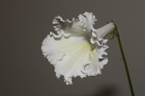 Streptocarpus 'Lemon Frills'