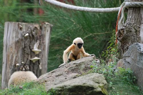 Weißwangen-Schopfgibbon im Zooparc de Trégomeur