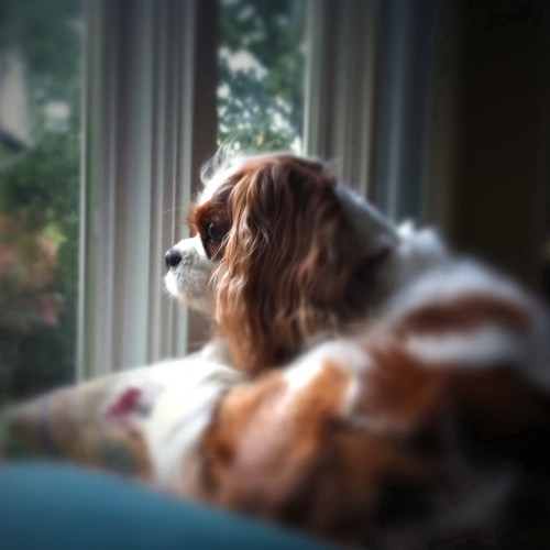 Lily - Cavalier King Charles Spaniel - by Scott Loftesness