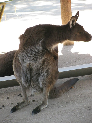 Kangaroo at the Melbourne Zoo