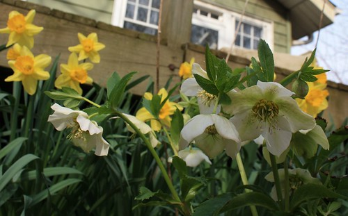 Lenten rose and daffodils
