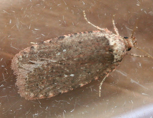 0889 - Two-dotted Agonopterix - Agonopterix argillacea