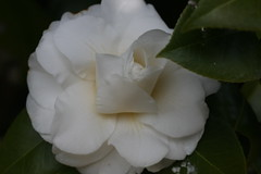 新治市民の森のツバキ(Camellia at Niiharu civic forest, Japan)
