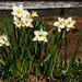 Daffodils, Violets and a Split Rail Fence