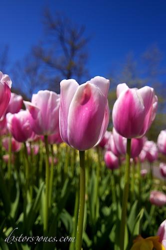 La armada de los tulipanes