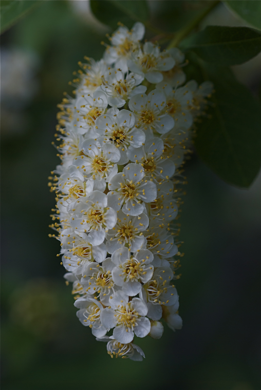 Chokecherry blossoms