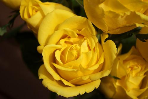 Yellow Rose 03