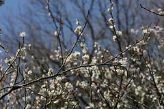 氷取沢市民の森の梅(Japanese Apricot at Hitorizawa civic forest, Japan)