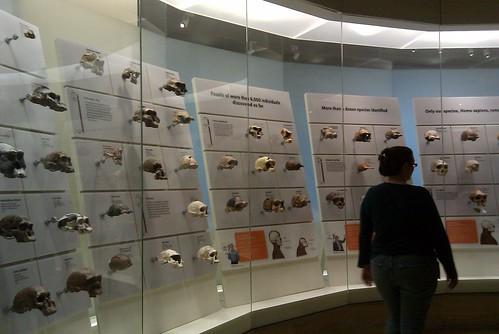 Human Origins Skull Wall