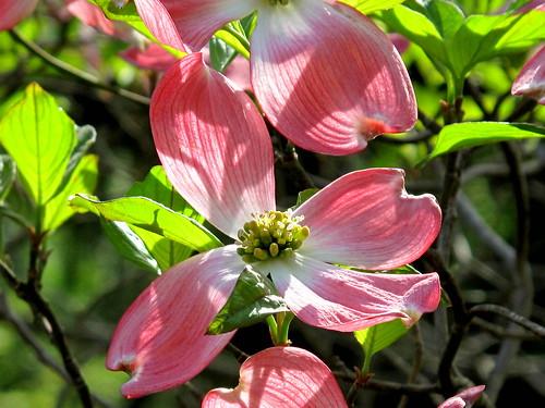 dogwood petals