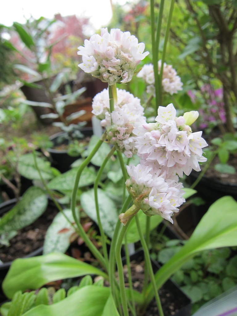Sea thrift 'Snowball' from plant sale