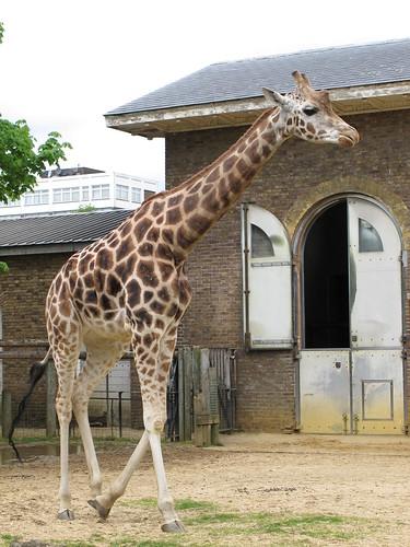 Giraffe - Taking a Walk
