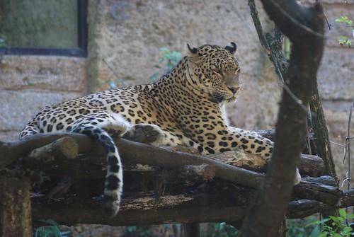 Persischer Leopard Darius im Zoo de Doué-la-Fontaine