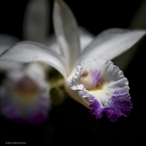 Arundina graminifolia {bamboo orchid}