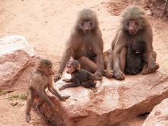 Baboon youngsters playing