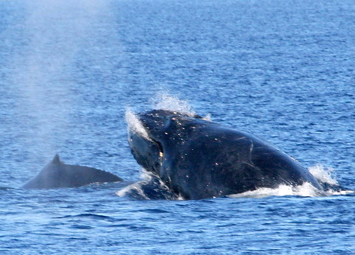 Maui Whale Tails