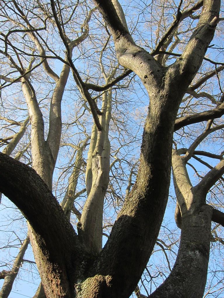 Scarlet Oak reaching up
