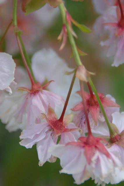Cherry Blossom Stems