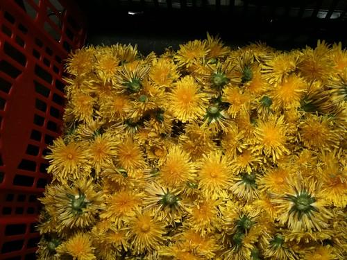 Löwenzahnblüten für unseren Honig