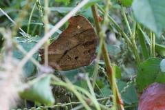 新治市民の森のクロコノマチョウ