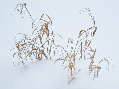Reed Canary Grass (?)