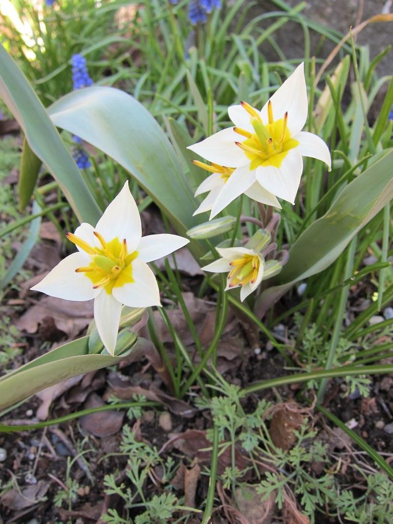 Turkestan tulip