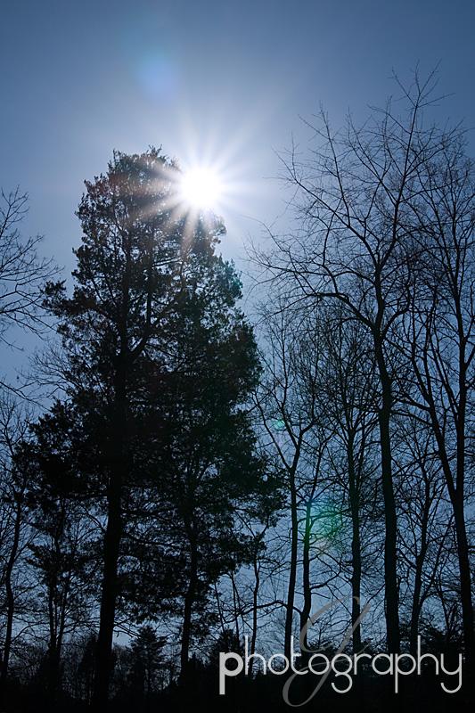 sunburst pine