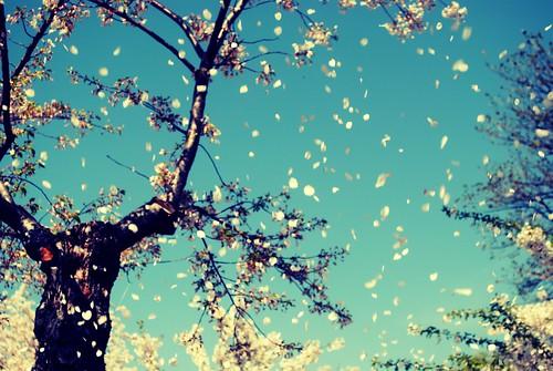 CherryBlossom001