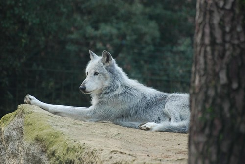 Wolf im Zoo de la Palmyre