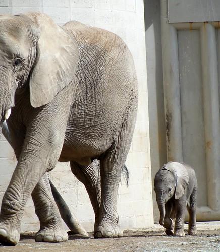 Baby Elephant, Newborn