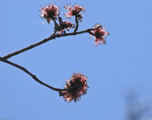 Red buds and blue spring sky 2
