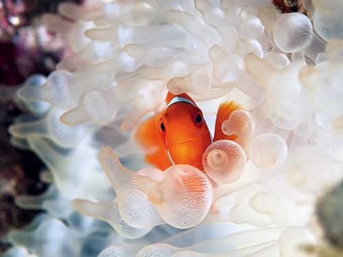 clownfish-bubble-tipped-anemone_18732_990x742