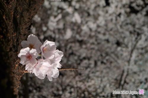 白川祇園-夜櫻4