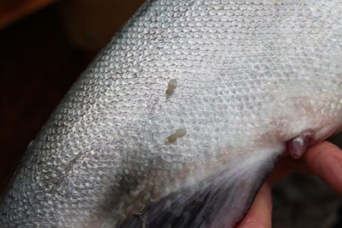 Sea-Lice, Hen Chinook, Siuslaw River, OR