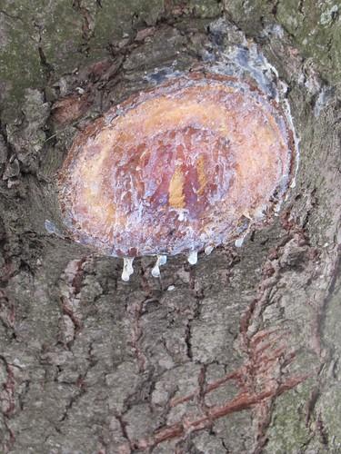 pine sap on tree