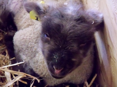 Brown/Black one-day-old Lamb