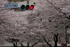 たまプラーザの桜(Cherry Blossom at Tama-plaza, Japan, 2010)