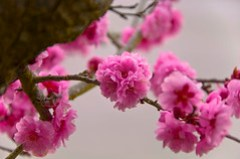 Japanese Cherry Tree, Bremerton