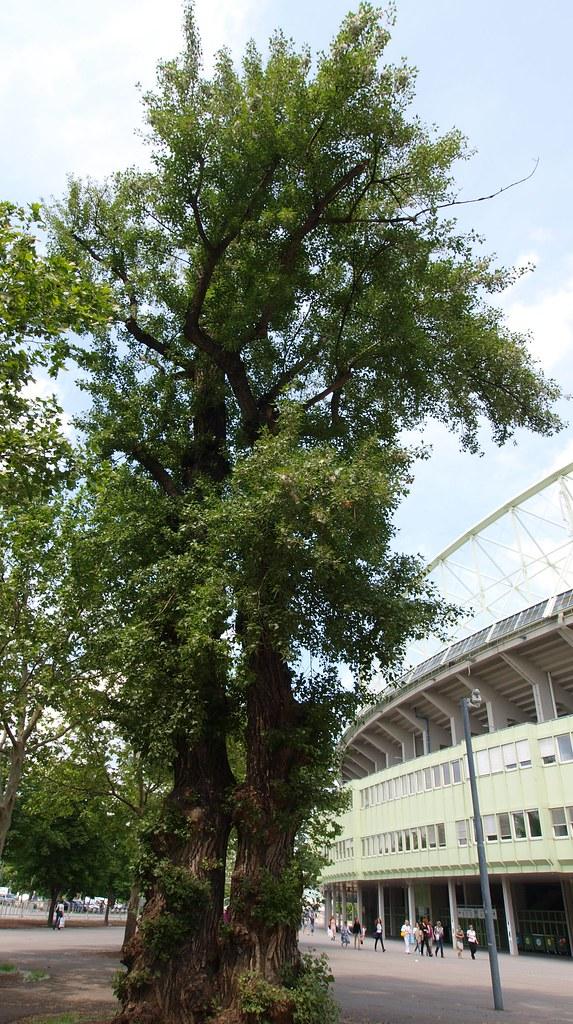 Mai-Baum