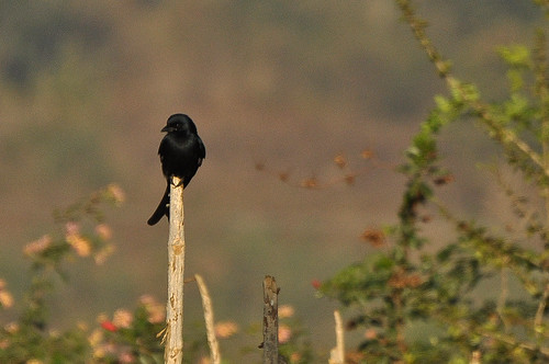Black Drongo Spotted at Ragihalli