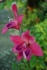 DSC_5007-mystery-pink-flower