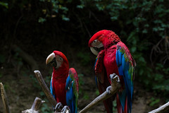 Ara zelenokřídlý (Green Winged Macaw)