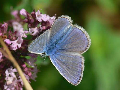 Common Blue (Polyommatus icarus), m.