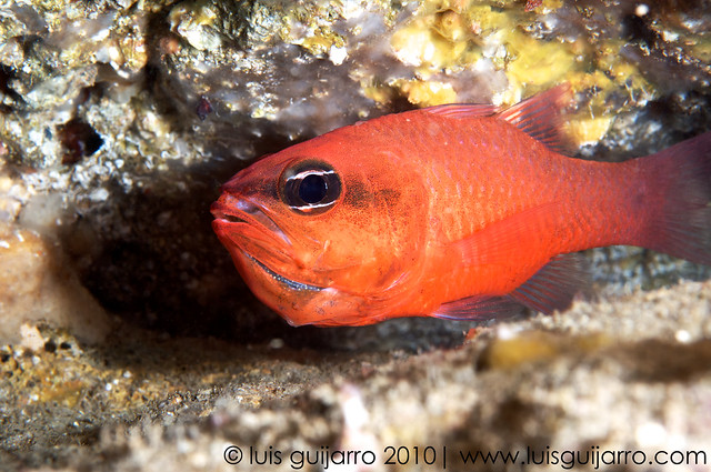 Brooding Cardinal Fish-34/365