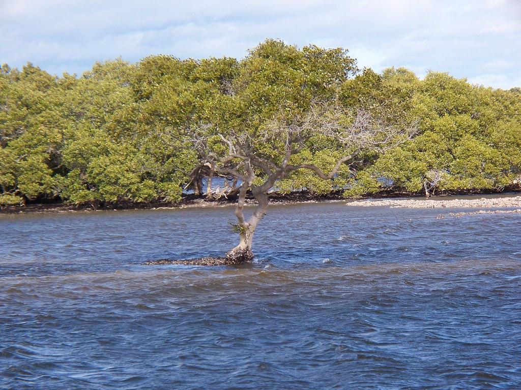 Solitary Mangrove - Myall River near Hawks Nest