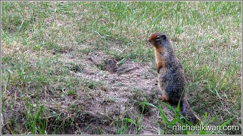Banff Ground Squirrel