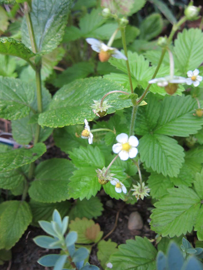 Alpine strawberries starting to grow