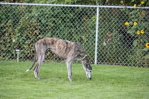 creeper stalker dog